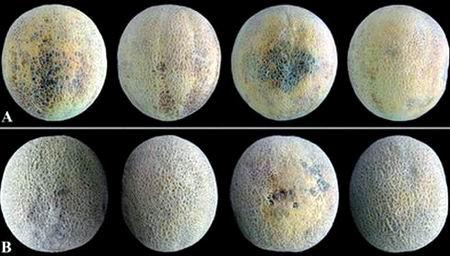 symptoms and sensitivity to chilling injury of cantaloupe