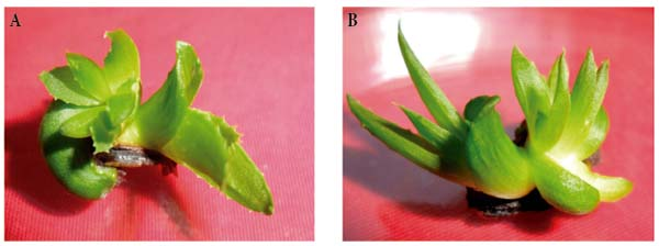 Effect of 6 benzyl aminopurine and thidiazuron on in vitro shoot organogenesis of aloe vera l - Aloe vera culture ...