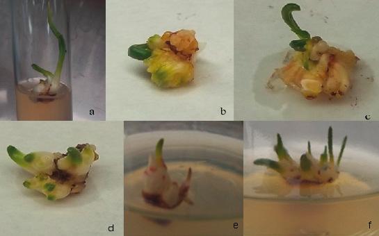 Formaci n de bulbos in vitro de traubia modesta for Culture amaryllis