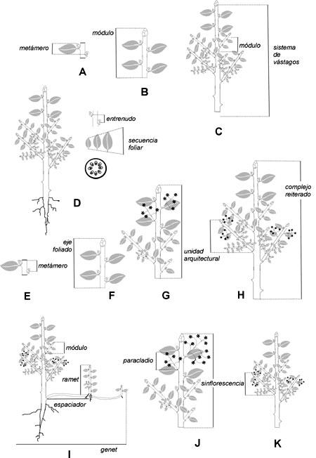 Gayana. Botánica - PATRONES ESTRUCTURALES EN LAS PLANTAS ...