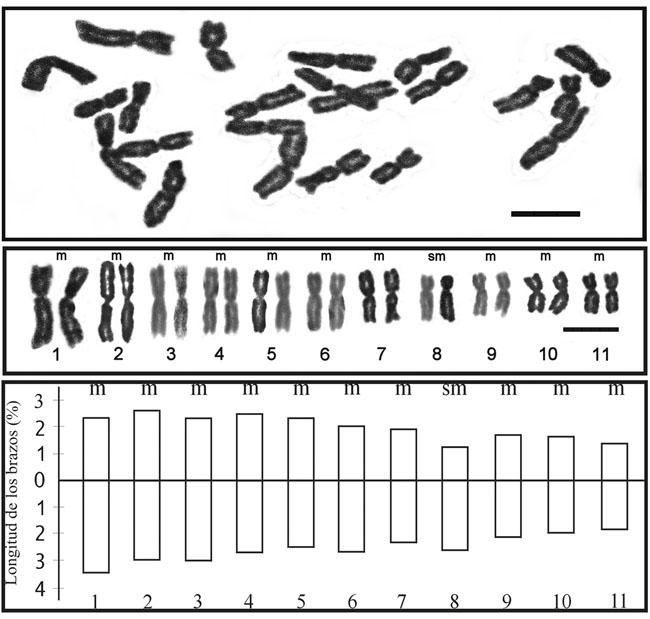 Clasificacion+de+los+cromosomas