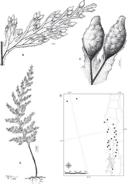 revisi u00f3n de las especies de hymenophyllum
