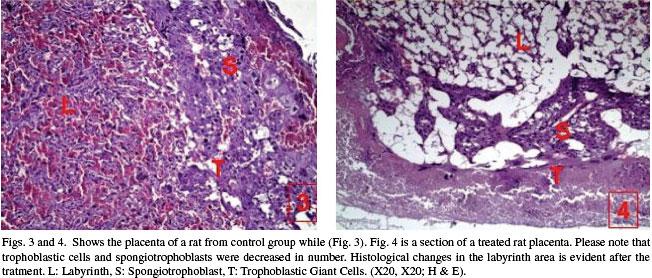 Examen Microsc 243 Pico De La Placenta De Ratas Prenatalmente