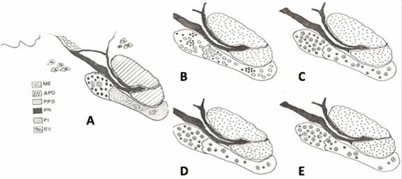 Anatom A Y Cambios Histofisiol Gicos En La Gl Ndula