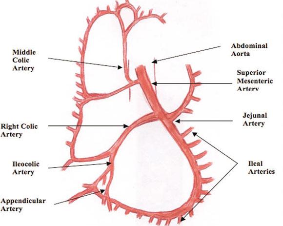 patrón de disposición y distribución de la arteria mesentérica, Human Body