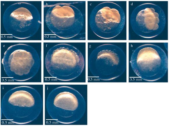 Desarrollo Embrionario De Bryconamericus Caucanus