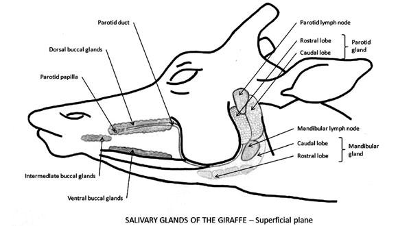 anatom u00eda de la boca de la jirafa  giraffa camelopardalis