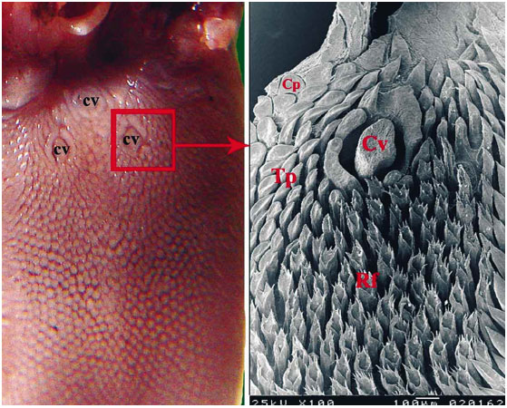 morphological comparison of the filiform papillae of new