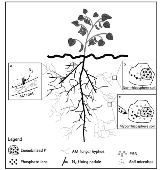 nutrient cycling in the mycorrhizosphere