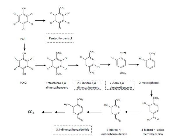 The degradation pathway of pentachlorophenol by A. discolor Sp4 in the soil