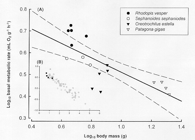 relationship between basal metabolic rate and body size teddy
