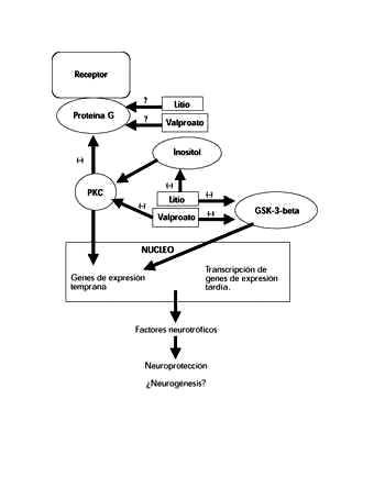 Corticosteroides mecanismo de accion