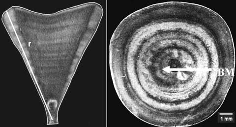 Edad Y Crecimiento Del Tibur 243 N Azul Prionace Glauca