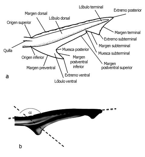 Revista de biologa marina y oceanografa  Claves taxonmicas