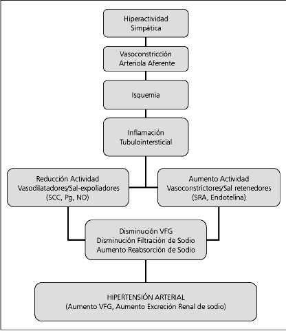 Rol del riñón en la hipertensión sal-sensible
