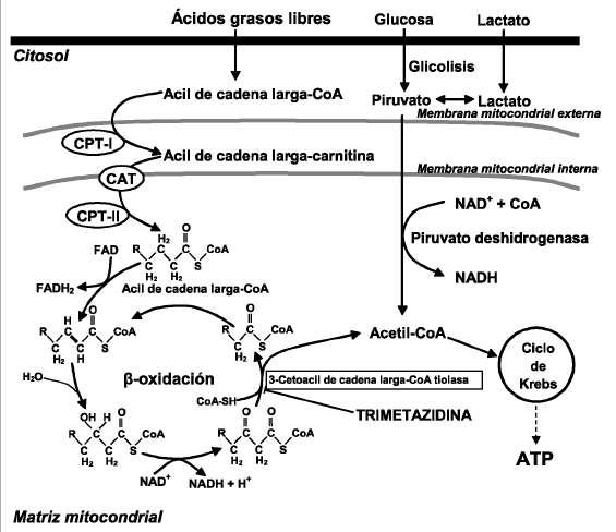 Metabolismo energético del corazón y sus proyecciones en..