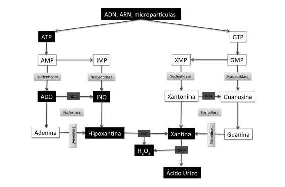 alimentos permitidos en el tratamiento de la gota acido urico elevado y tratamiento cibi da evitare per acido urico alto